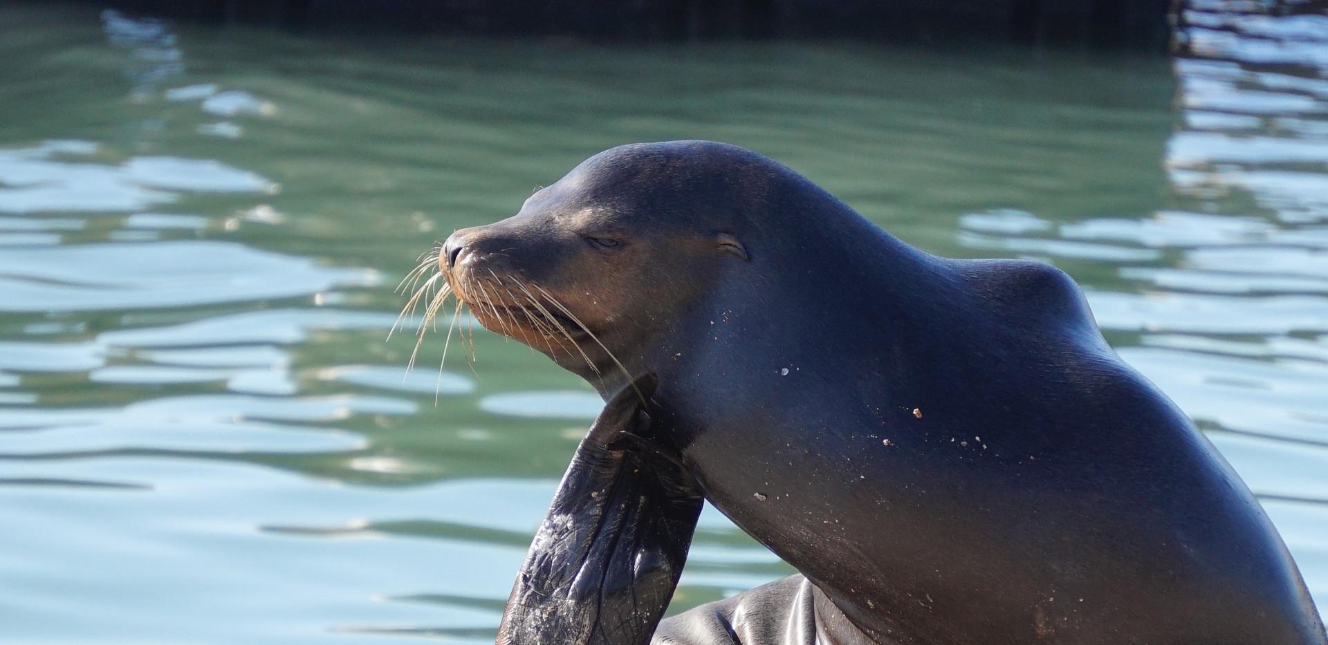 Lion de mer de Californie.JPG