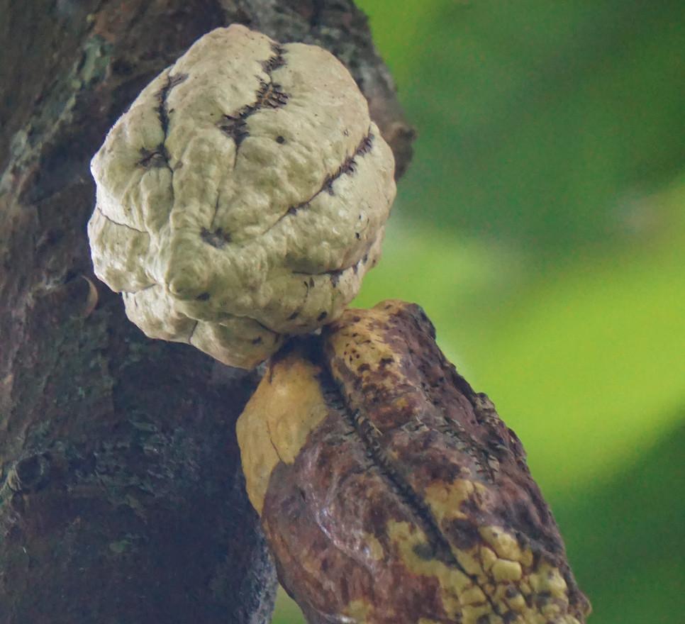 Cacaotier sauvage.JPG