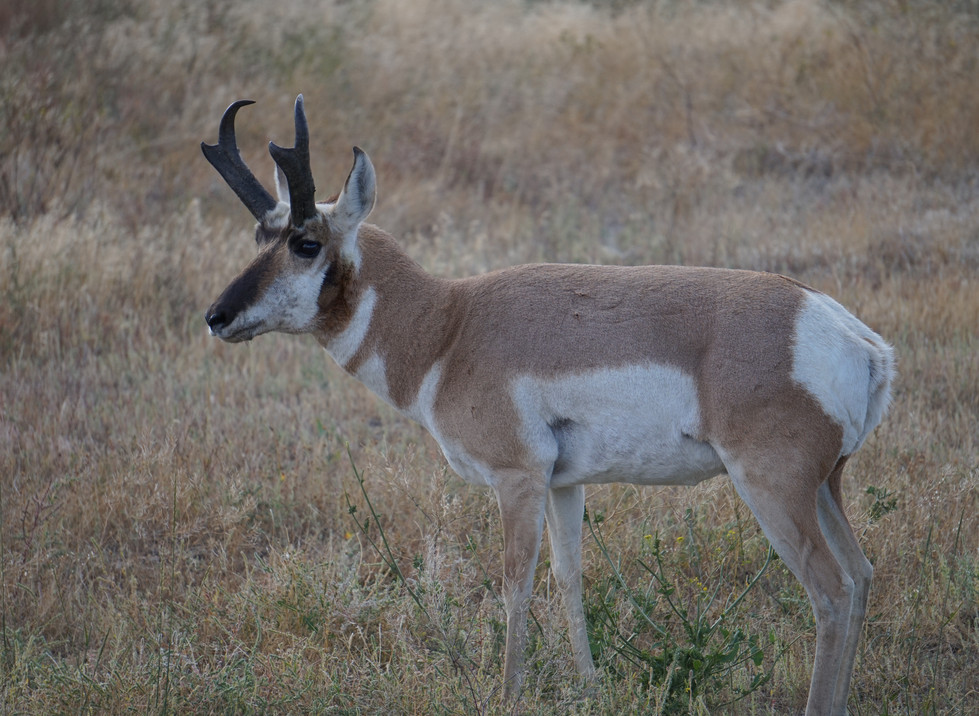Antilope d'Amérique.JPG