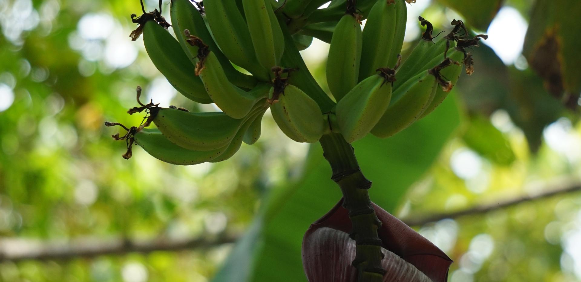 Bananier.JPG
