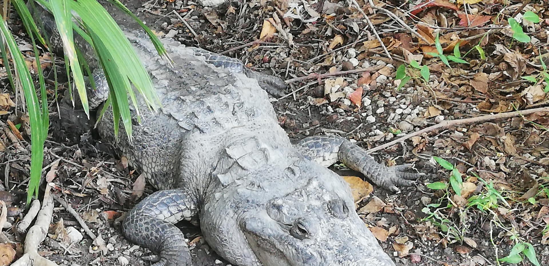 Croco a Puerto Morelos.jpg