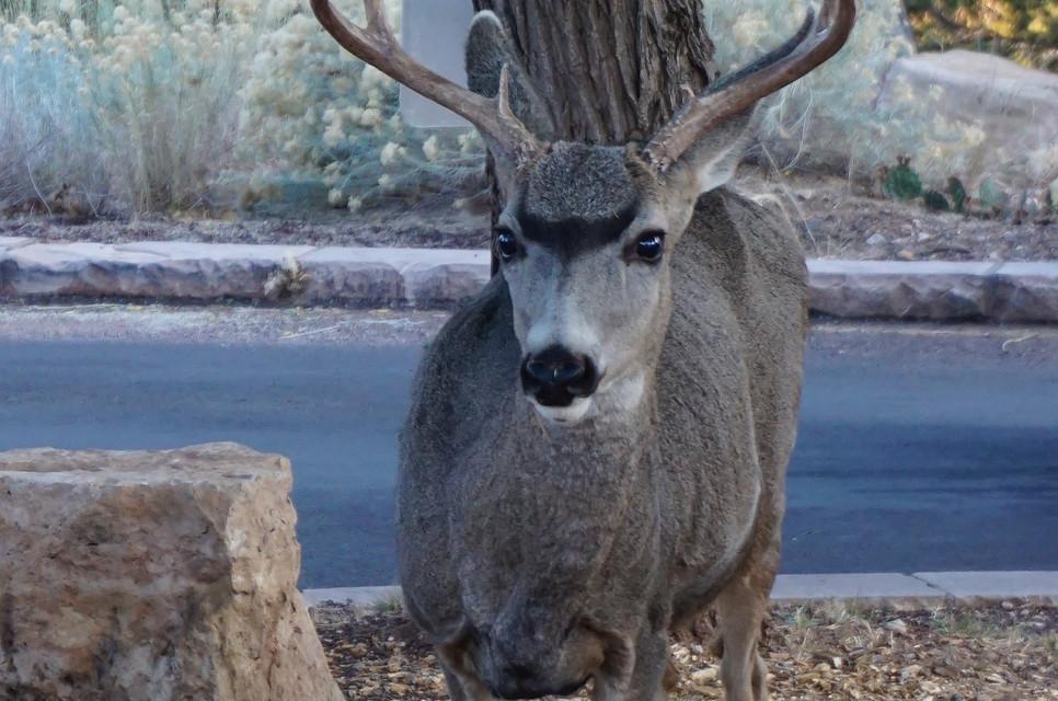 Mule deer (Grand canyon).JPG