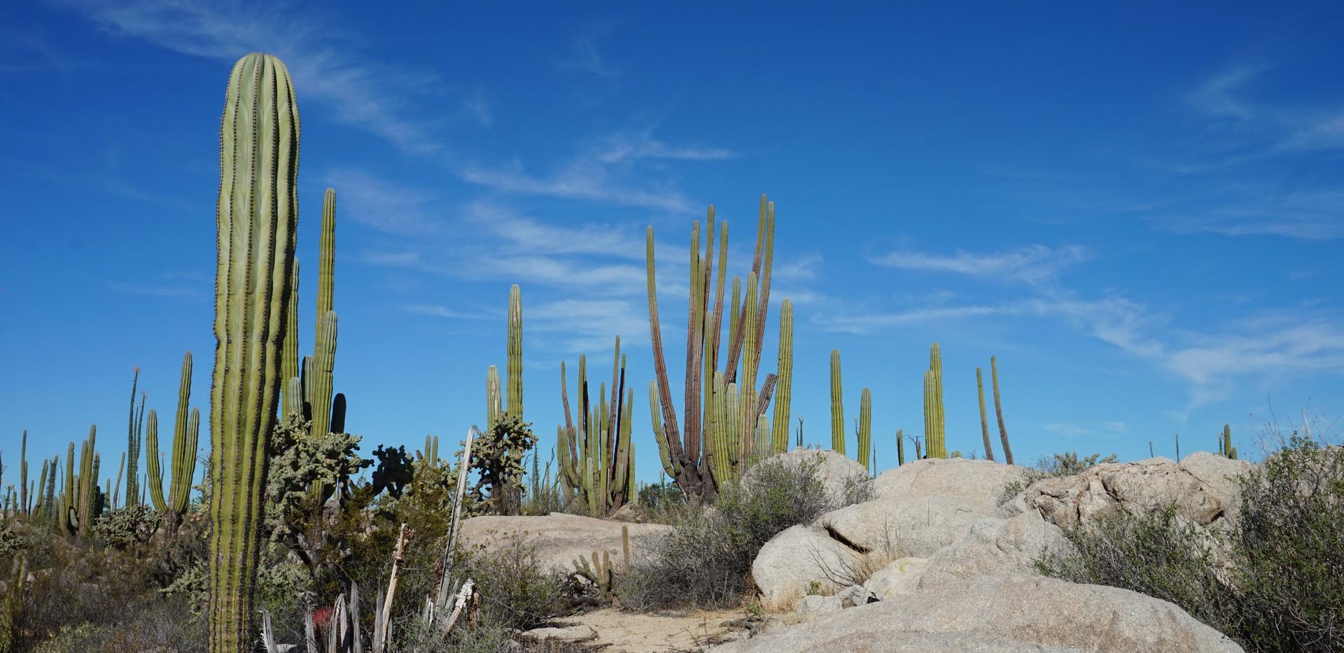 Forêt_de_cactus.JPG