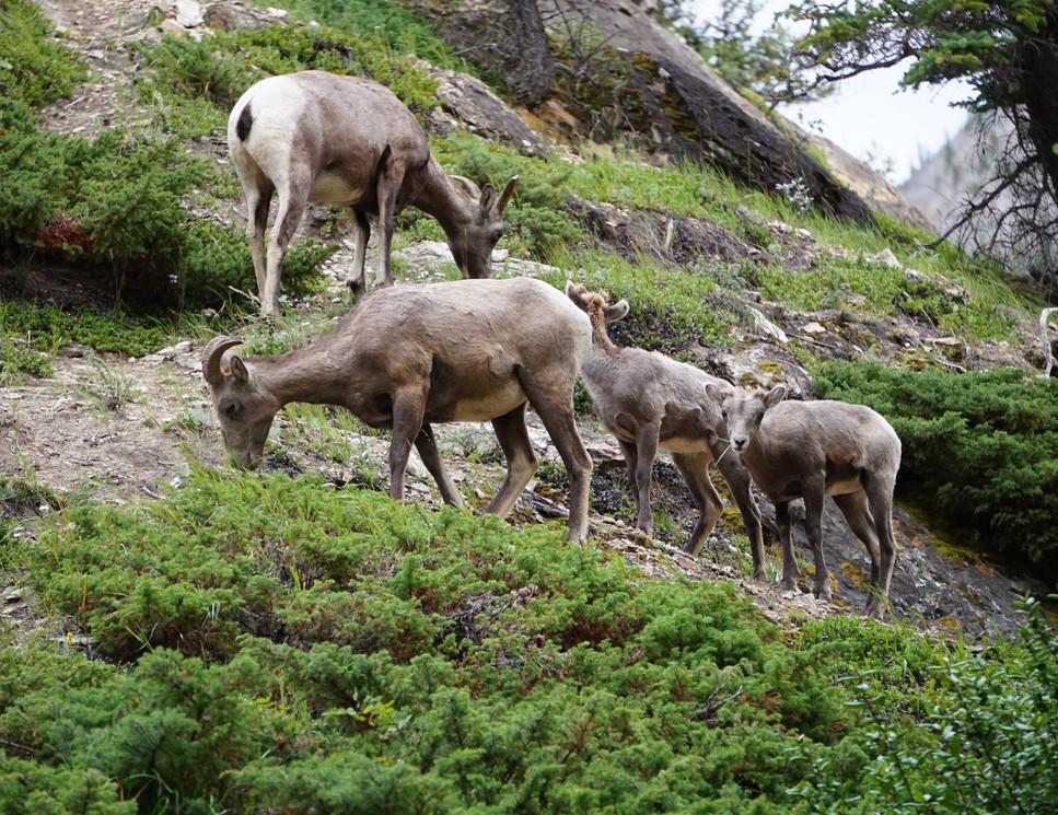 Famille Mouflon.JPG