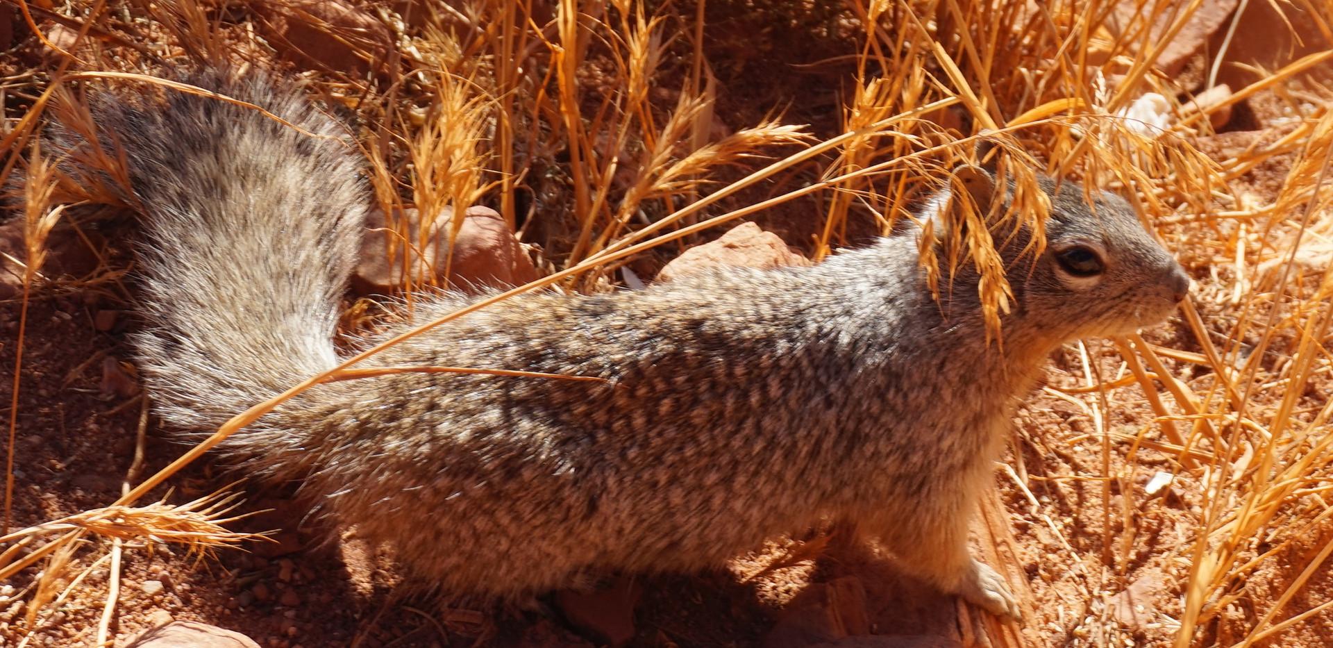 Antelope Squirrel.JPG