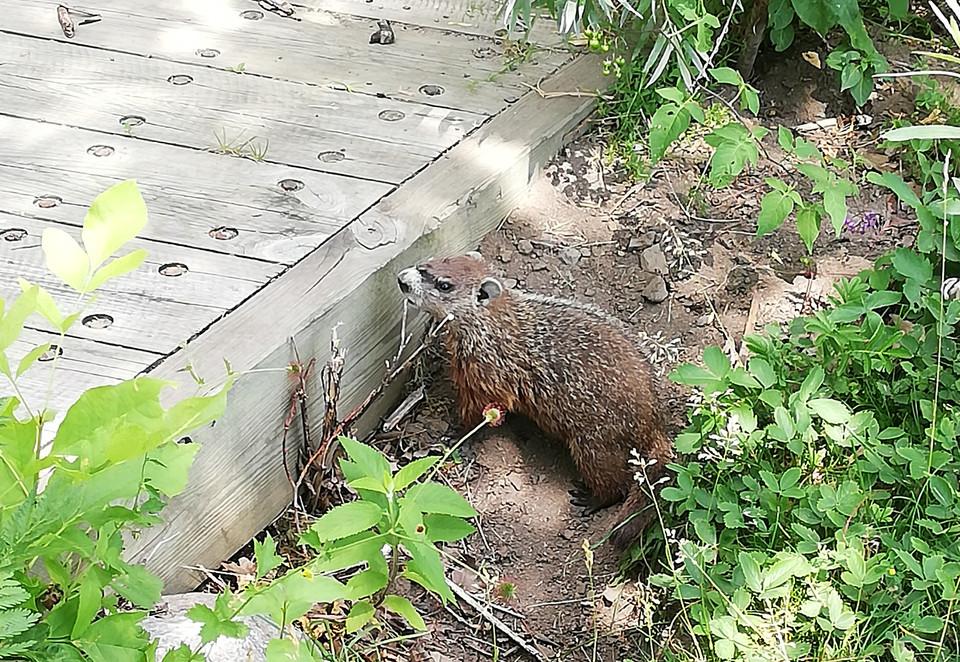 Petite marmotte.jpg