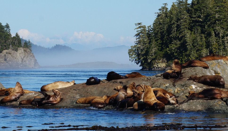 Lions de mer.JPG