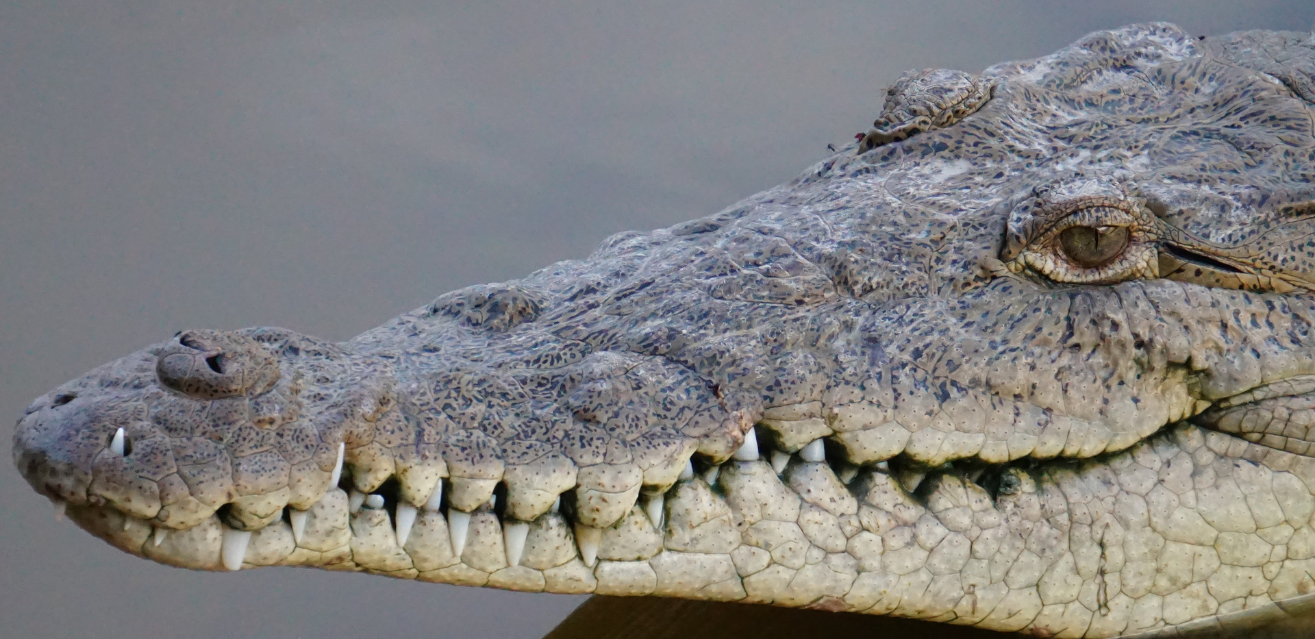 Alligator San Blas.JPG