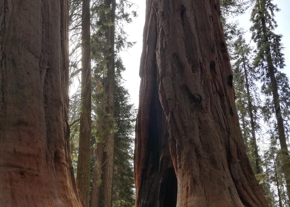 Sequoias_géants.jpg