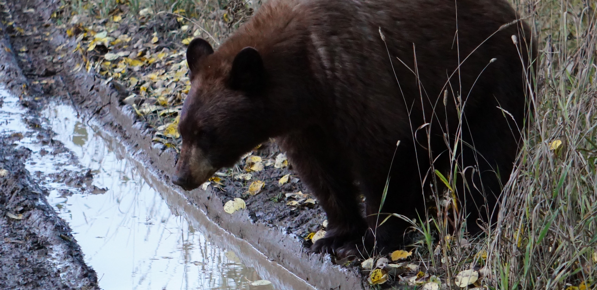 Cinnamon black bear.JPG