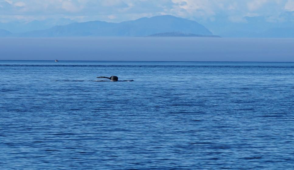Baleine_à_bosse_Telegraph_cove.JPG