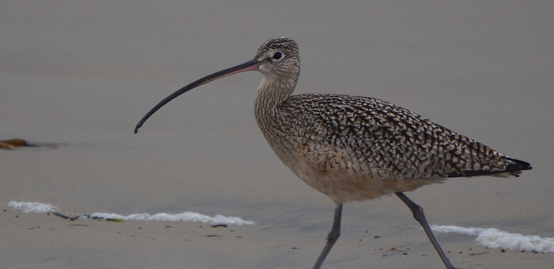Oiseau de Tringa (echassier).JPG