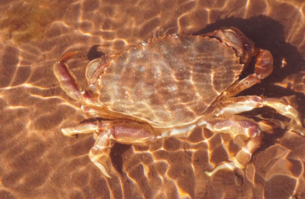 Crabe de rocher Ile du prince Edward.JPG