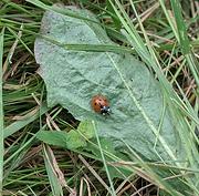7 spot ladybird.png