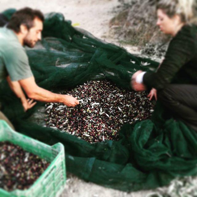 Olive harvest__#oliveharvest2017 #raccoltadelleolive #olioextraverginebio #extravirginoliveoil #extr