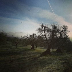 Mist in the olive grove