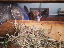 Peek a boo! _#podereilfornacino #farmlife #tuscany #agriturismo #santaluce