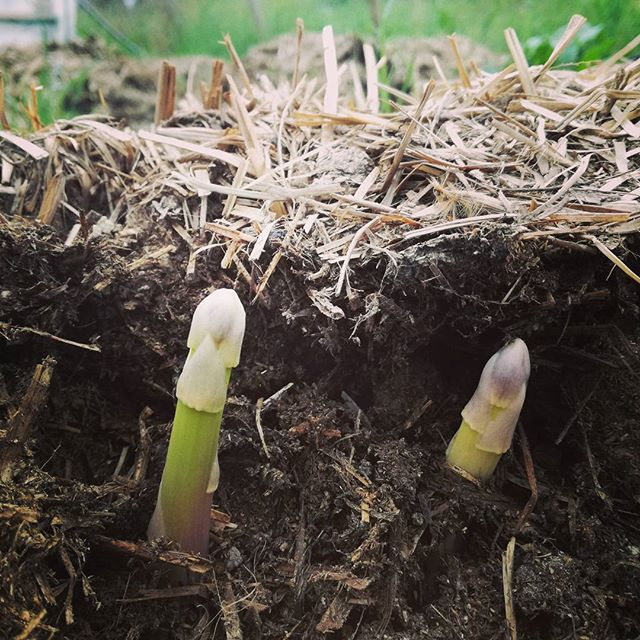 #power from the #ground _#earth #ligham _#asparagus #spring #foodfromtheearth #farmtotable #fieldtof