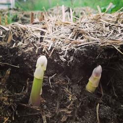 #power from the #ground _#earth #ligham _#asparagus #spring #foodfromtheearth #farmtotable #fieldtof