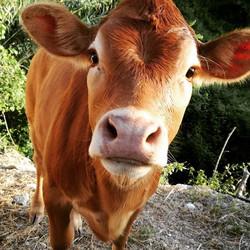 Jessica is growing!__#farmlife #jerseycow #limousine #calf  #springbaby #happymeat #spoiltanimals #f