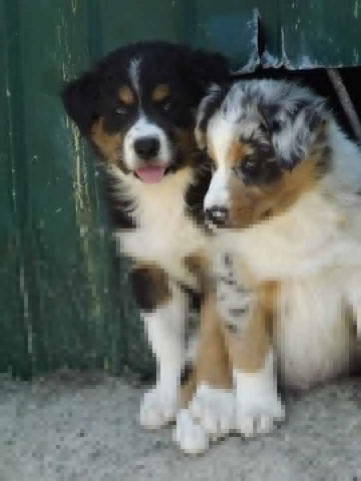 cuccioli+aussie+collie.png