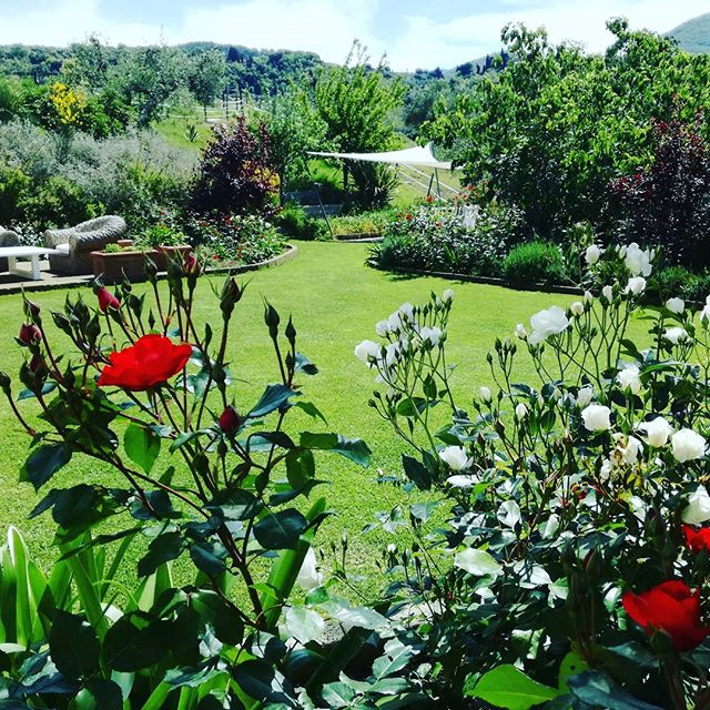 Bloomin' lovely!__#rosesarered #garden #lawns #flowers #naturalbeauty #sailshade #meiland #landscape