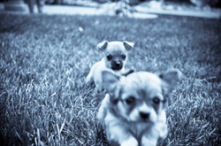 Pups of Molly Muffertons