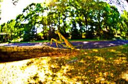 Preying Mantis in Langhorne, PA