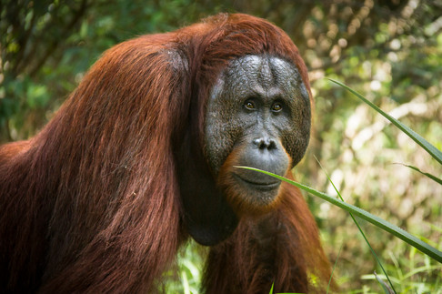Orang-utans means 'person of the forest' in the Malay language. They live in primary and secondary forests.