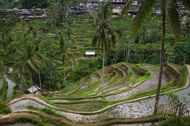 Tegallalang | Rice Terraces