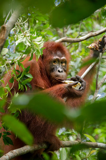 Orang-utans are known as gardeners of the forest. They play a vital role in seed dispersal and in maintaining the health of the forest