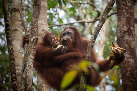 Orangutans are among the most intelligent primates. They use a variety of sophisticated tools and construct elaborate sleeping nests each night from branches and foliage.