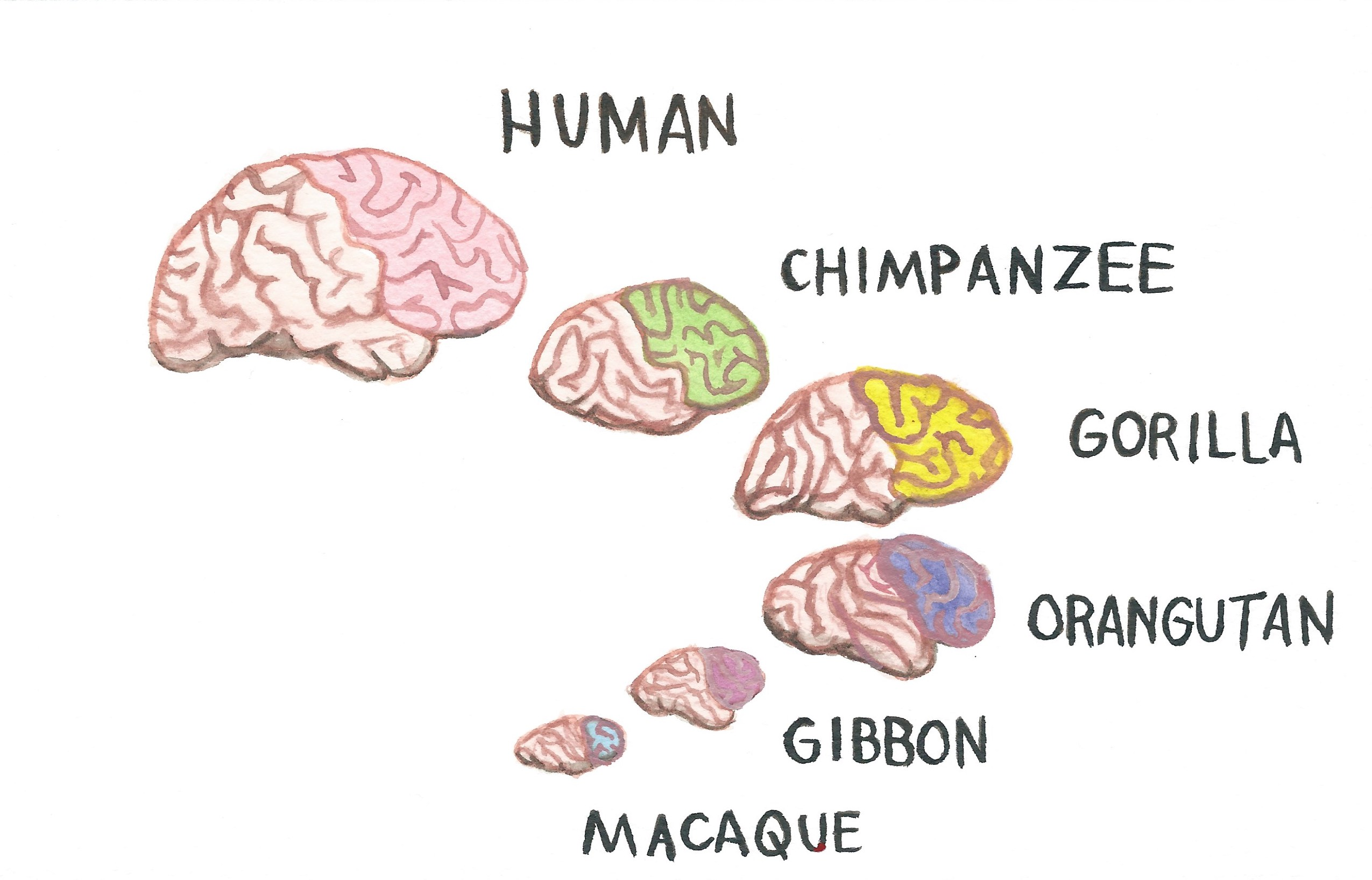 Frontal Lobes of Primate Species