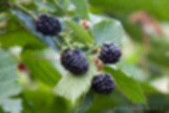 Blackberries Rose' Berry Farm