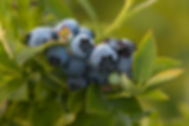 Blueberries at Rose's Berry Farm