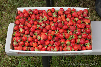 Strawberries at Rose's Berry Farm