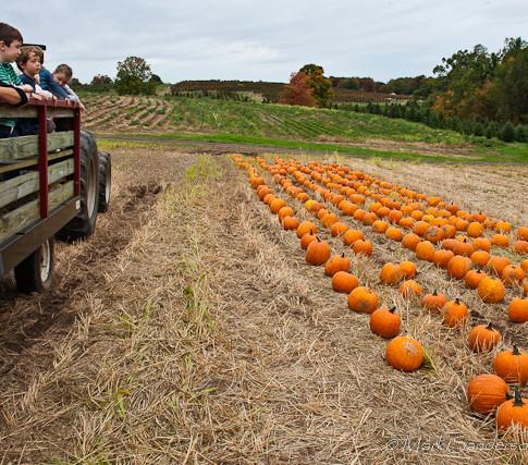 Pumpkin picking at Rose's Berry Farm