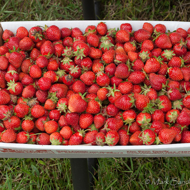 Pick your own strawberries at Rose's Berry Farm