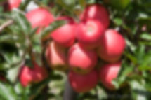 Apples at Rose's Berry Farm