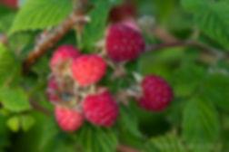 raspberries Rose's Berry Farm