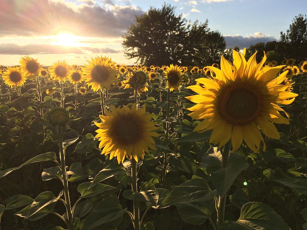 tournesol #tournesols #soleil #fleurs #passionlavande #stsevere #bouquetdesoleils #coucherdesoleil #bonheur