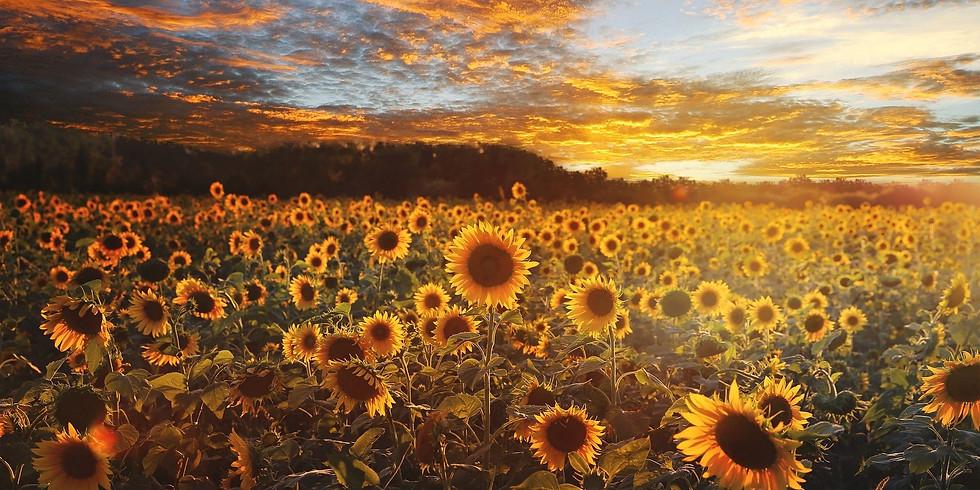 Soirée Coucher de soleil | Tournesols