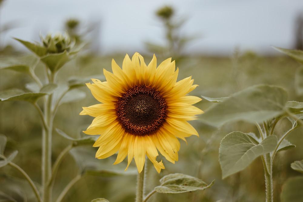 #tounerols  #jardinsdetournesols  #passionlavande  #summer  #recette  #huiledetournesol  #soleil  #muffin  #jaunetournesol