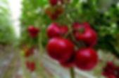 20100524003507272919_tomate_bajo_inverna