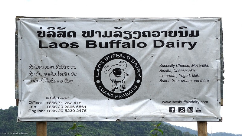 Laos Buffalo Dairy, Homemade Cheese in Luang Prabang !