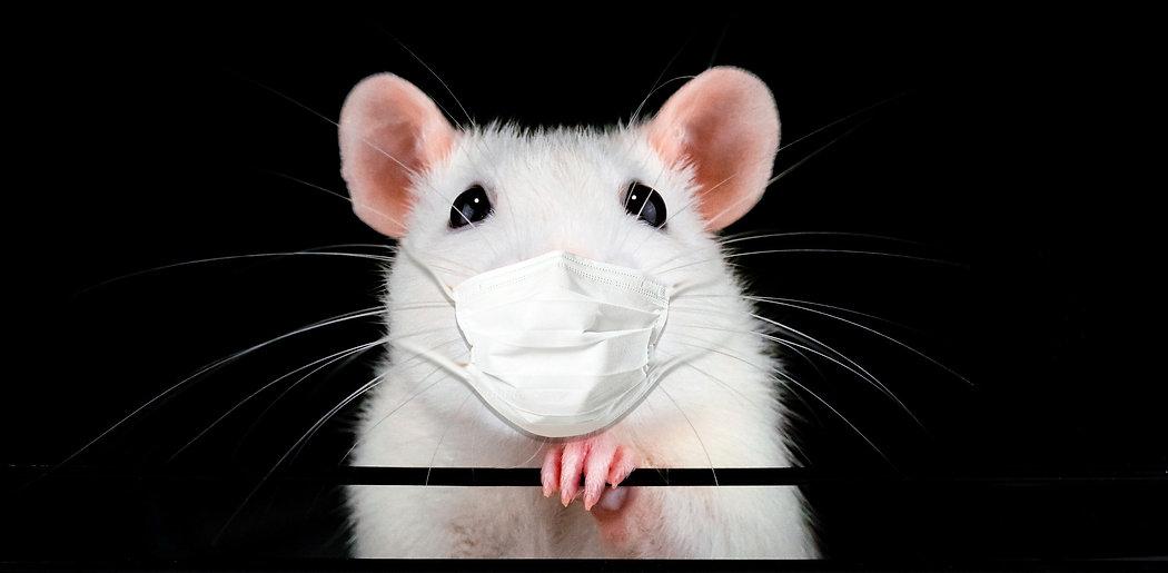 Cute white pet rat portrait with black b