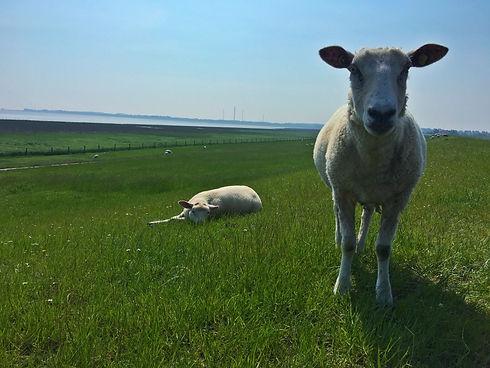 Deich, Nordsee, Urlaub im Wangerland, Schafe, Strandurlaub