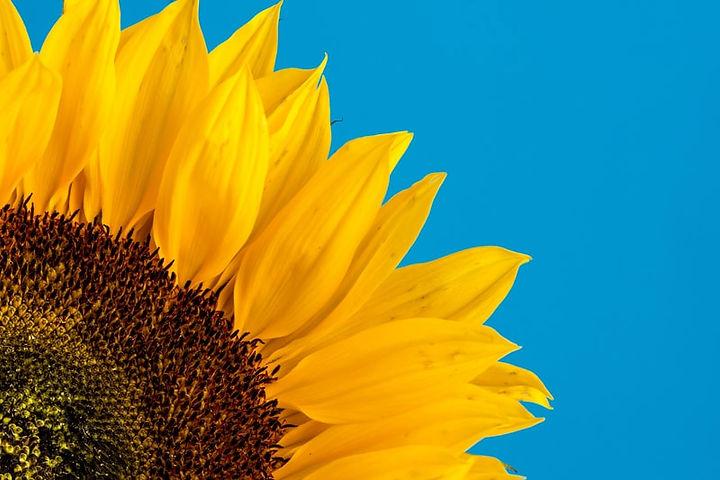 sunflower 1.jpeg
