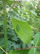 common milkweed 1.JPG