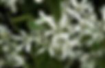 serviceberry.png